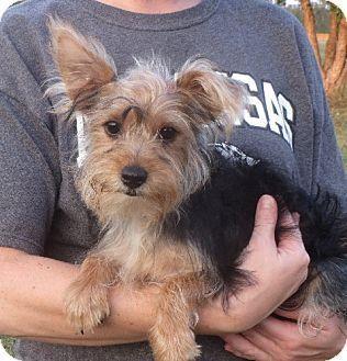 Yorkie Yorkshire Terrier Puppy For Adoption In Salem New Hampshire Lester Yorkshireterrier Yorkie Terrier Yorkie Yorkshire Terrier Yorkshire Terrier
