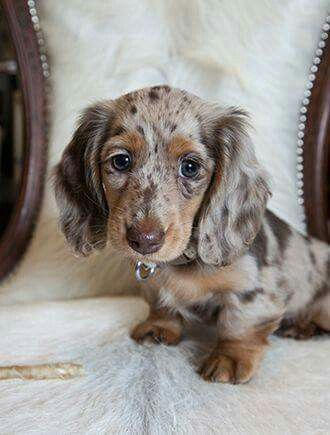 Liver Tricolor Merle Dachshund Puppy Long Haired Puppies