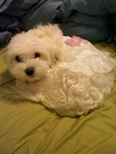 Maltese Lilly In 2020 Maltese Dogs Maltese Puppy Teacup
