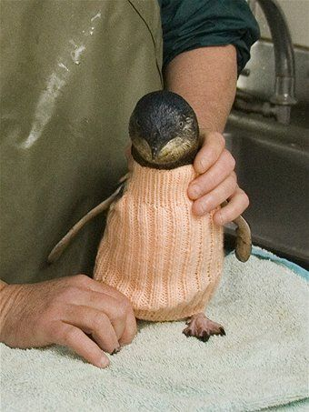 Knitting Jumpers for Penguins in Rehab after Oil Spills