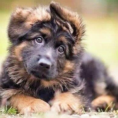Pin Von Barbara Rathmanner Auf Schaferhund Pup Schaferhund Welpen Hunde Schaferhunde