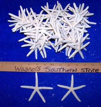 "100 REAL WHITE FINGER STARFISH STAR FISH SEASHELLS 3-4/"" ITEM # WSF3-100"