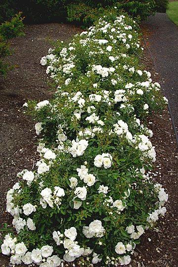 73 best flower carpet roses images on pinterest backyard ideas 73 best flower carpet roses images on pinterest backyard ideas easy garden and garden ideas mightylinksfo