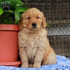Golden Retriever Puppies For Sale Greenfield Puppies Puppies