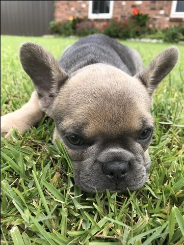 French Bulldog Puppy For Sale In Alexandria La Adn 47227 On