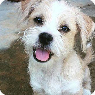 Hagerstown Md Shih Tzu Jack Russell Terrier Mix Meet Joe A