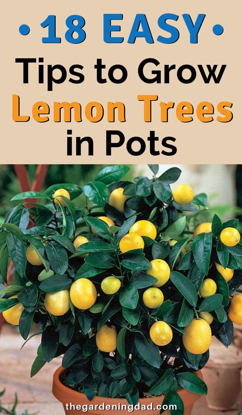 How to Grow Lemon Trees in Pots PROVEN Tips) The Gardening Dad is part of Potted trees - Are you interested in learning how to grow lemon trees in pots If so, this article will provide you with 18 PROVEN tips for growing lemon trees in pots! Home Vegetable Garden, Fruit Garden, Potted Garden, Balcony Garden, Garden Pots, Veggie Gardens, Edible Garden, Plants In Pots, Potted Trees Patio