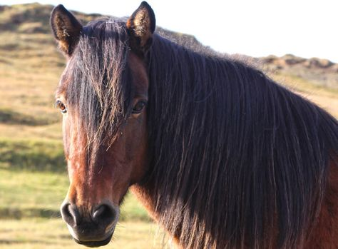 On a road trip in Iceland you'll always see horses
