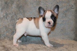 European Descent French Bulldogs Financing French Bulldog