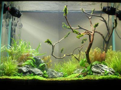 Tiger Lotus, Red (Nymphaea Zenkeri)   Google Search | Aquariums | Pinterest  | Aquariums, Tigers And Freshwater Aquarium Plants