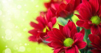 Chrysanthemum Flowers Hd Wallpapers Hdviewer 2 With Images Red Chrysanthemums Chrysanthemum Flower Wallpaper