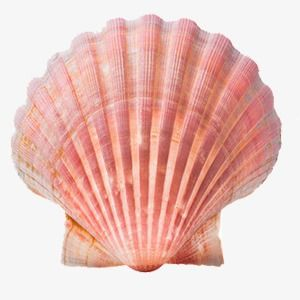 Shell Shell Clipart Sea Shell Png Transparent Clipart Image And Psd File For Free Download Shells Sea Shells Sea Life Decor