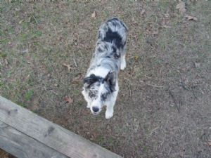 77 Blue Merle Border Collie Puppies For Sale In Ohio In 2020 Collie Puppies Border Collie Puppies Collie Puppies For Sale