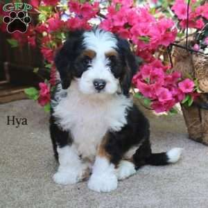 Mini Bernedoodle Puppies For Sale Greenfield Puppies Bernedoodle Puppy Bernedoodle Greenfield Puppies