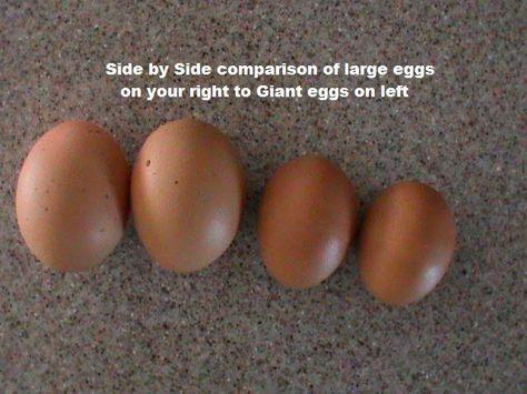 Jersey Giant Chicken Comparison Xxxl Chicken Eggs And Now