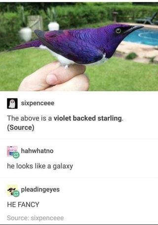 The above is a violet backed starling. (Source) he looks like a galaxy % pleadingeyes HE FANCY Source: sixpenceee - iFunny :) - The above is a violet backed starling. (Source) he looks like a galaxy % pleadingeyes HE FANCY Sour - Cute Funny Animals, Cute Baby Animals, Funny Cute, Animals And Pets, Funny Birds, Hilarious, Beautiful Creatures, Animals Beautiful, A Silent Voice