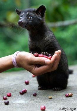 The most expensive coffee in the world - kopi luwak. Try it!
