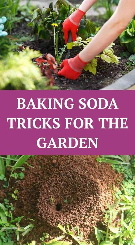 20 Great Ways To Use Baking Soda In The Garden Organic Insect