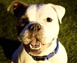 Bulldog Dog For Adoption In Nyc Ny Adn 733885 On Puppyfinder Com