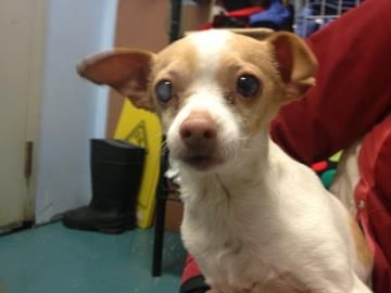 Oregon Jovie Is A Chi In Need Of A Loving Adopter Rescue At City Of Eugene Shelter 3970 W 1st Ave Eugene Or 97402 1stavenue Green Hill Org Losing A Dog