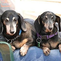 Pin By Mr Melvin On Adopt A Senior Dachshund Dachshund Adoption