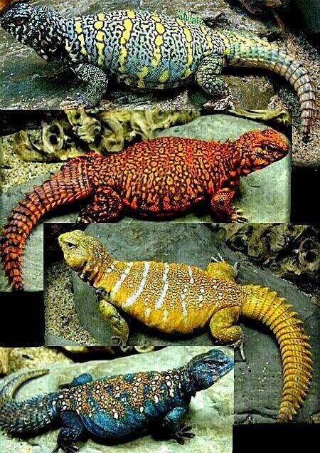 Uromastyx Lizards A Genus Of Lizards Agamids Commonly Called Dragons Beardeddragon Uromastyx Lizard Lizard Uromastyx