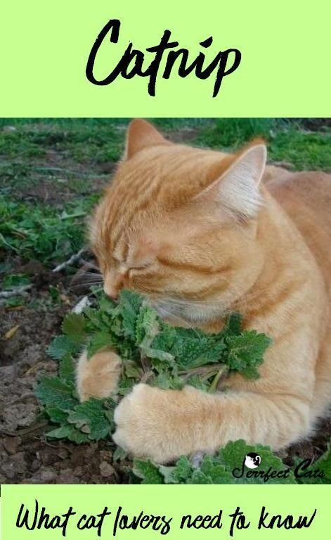 Catnip What You Need To Know Catnip Cats Cat Playground