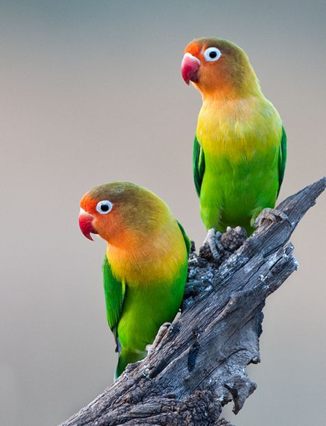 Fischer's lovebirds ... tho I'm a bit concerned how mean they can be in a pair....