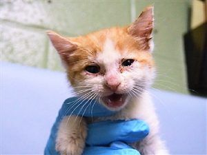 Gus Gus Is A Cute Orange And White Kitten Who Has Conjunctivitis And Diarrhea He Is 4 Weeks Old And Needs A Foster Home Foster Cat Kitten Cat Shelter