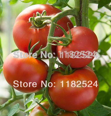 Tomate tiny tim 100 graines solanum Lycopersicum