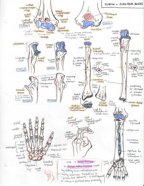biology apuntes The Oxford Handbook of Medblr minuiko: Forearm -