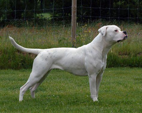 Image Result For Bullforce Sapphire American Bulldog Olde