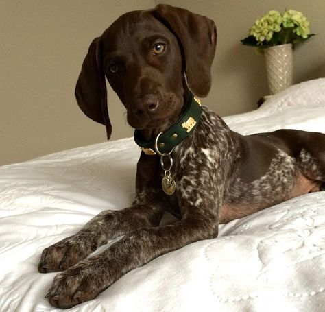 Everything About German Shorthaired Pointer Puppy Temperamen.-Everything About German Shorthaired Pointer Puppy Temperament Everything About German Shorthaired Pointer Puppy Temperament - Gsp Puppies, Pointer Puppies, Pointer Dog, German Pointer Puppy, German Shorthaired Pointer, German Shepherd Puppies, Hunting Dogs, Dog Love, Dog Breeds