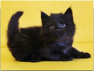 I Wish He S My Kitten Siberian Male Geraldt Of Tavaloga Solid Black Sib N Siber Siberian Kittens Siberian Cats For Sale Siberian Kittens For Sale