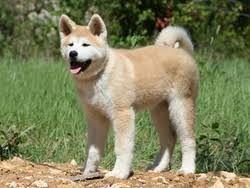 Ahnliches Foto Hund Akita Akita Haustiere