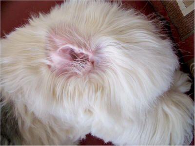 Plucking Ear Hair Old English Sheepdog Old English Sheepdog Sheepdog English Sheepdog
