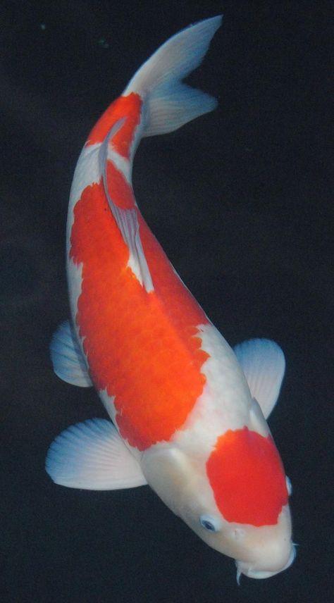 Bild-Ergebnis für Koi-Fisch #KoiFish - #bildergebnis #ergebnis #fisch #für