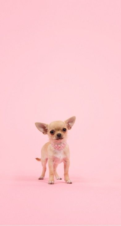 Dog Wallpapers Are Added Beautiful And Cute Dogs For Your Mobile Phone Follow Us On Facebook For More Beautiful Wallpa Cute Chihuahua Cute Dogs Cute Animals Best wallpapers cute dogs