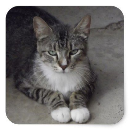 Ragdoll Cat Gallery Russian Blue Cat Grey And White Cat Tabby Cat