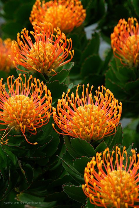 Orange Pincushion from the Protea Specie