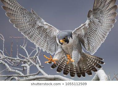 Imagem Gratis No Pixabay Falcao Peregrino Raptor Falcao Com