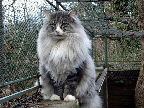 """Il Gatto Norvegese delle Foreste è conosciuto con tanti nomi, ma il suo nome originale """"Norsk Skogkatt""""."""