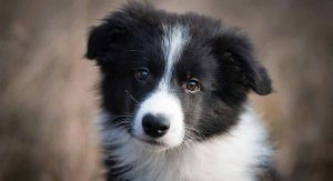 Top 10 Smartest Dog Breeds Collie Puppies Border Collie Puppies