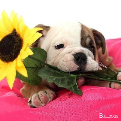 Bulldog Pup Bulldogshirt Bulldogsofstockholm With Images