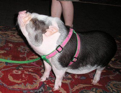 Train Your Pot Belly Pig To Walk On A Leash In 4 Easy Steps