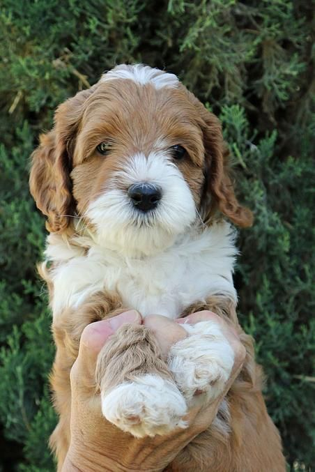 Crawford Doodles Labradoodle Puppies For Sale Australian
