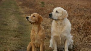 Male Vs Female Golden Retriever Just For Your Dog Female