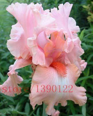 Pink Iris Bulbs Perennial Impressive Flowers Bonsai Stunning Rare Popular Fresh