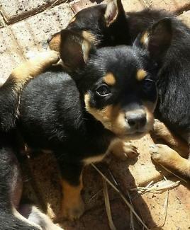 Cuddley Kelpies Dogs Puppies Gumtree Australia Brisbane