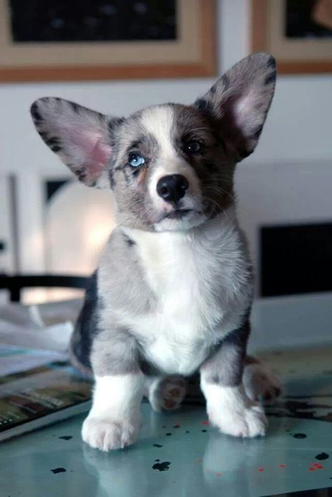 Blue Merle Corgi Australian Shepherd Corgi Mix I Want One And I